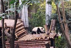 【小猪佩奇】成都·熊猫基地黄龙溪武侯祠锦里庙会双飞6日游